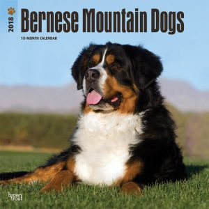 Bernese Mountain Dogs 2018 12 X 12 Inch Monthly Square Wall Calendar
