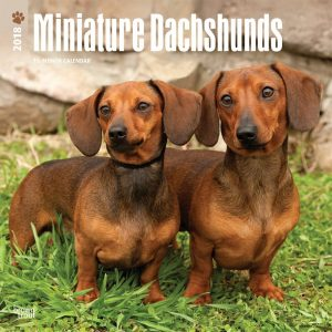 Miniature Dachshunds 2018 12 X 12 Inch Monthly Square Wall Calendar