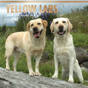Yellow Labrador Retrievers 2018 12 X 12 Inch Monthly Square Wall Calendar With Foil Stamped Cover