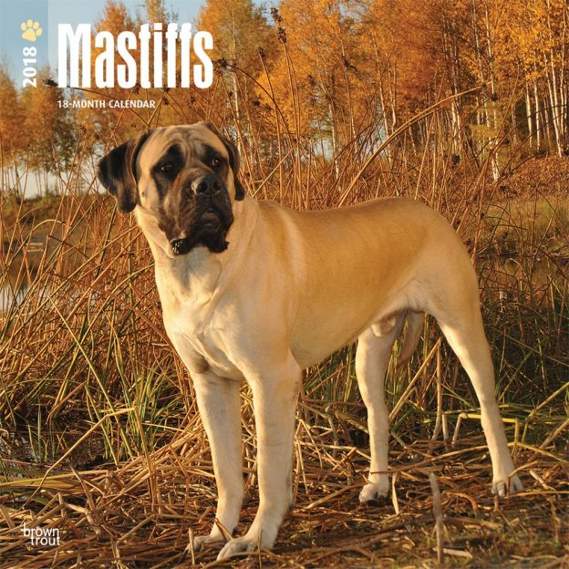 Mastiffs 2018 12 X 12 Inch Monthly Square Wall Calendar