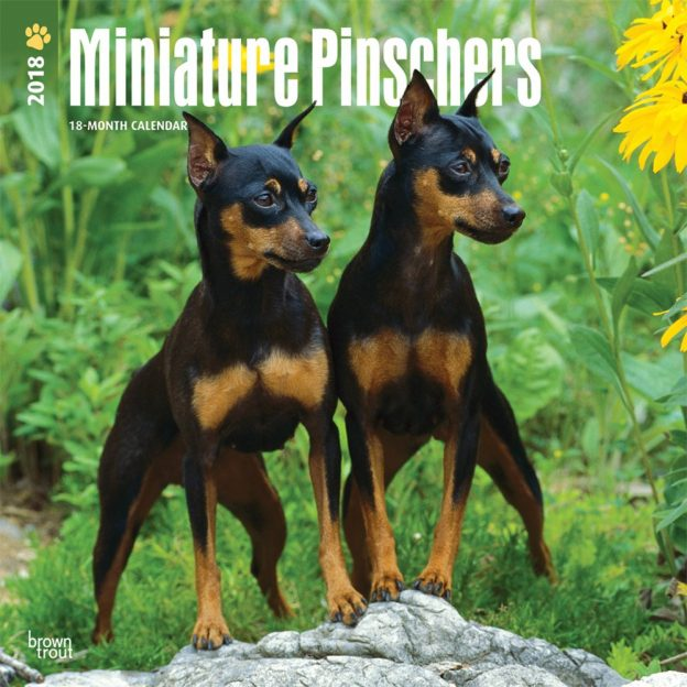 Miniature Pinschers 2018 12 X 12 Inch Monthly Square Wall Calendar