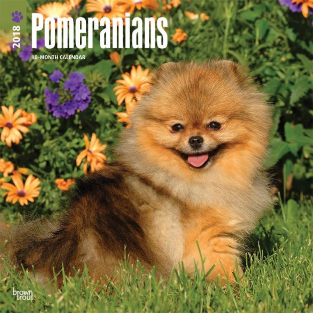 Pomeranians 2018 12 X 12 Inch Monthly Square Wall Calendar