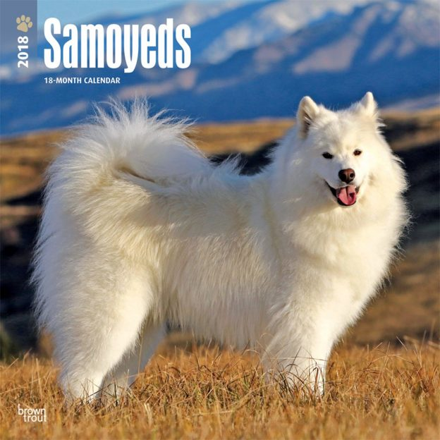 Samoyeds 2018 12 X 12 Inch Monthly Square Wall Calendar