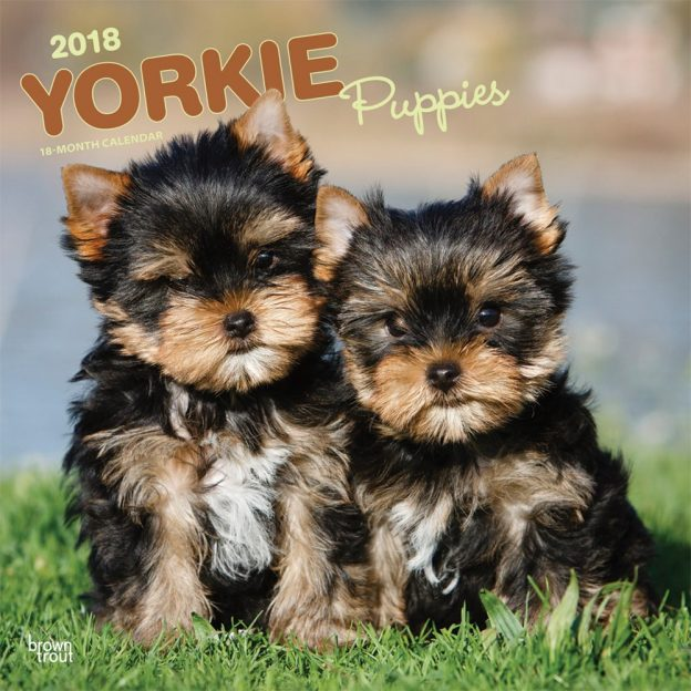 Yorkshire Terrier Puppies 2018 12 X 12 Inch Monthly Square Wall Calendar