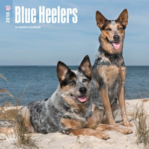 Blue Heelers 2018 12 X 12 Inch Monthly Square Wall Calendar
