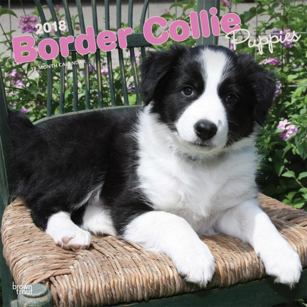 Border Collie Puppies 2018 12 X 12 Inch Monthly Square Wall Calendar