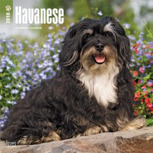 Havanese 2018 12 X 12 Inch Monthly Square Wall Calendar