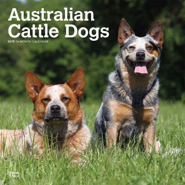 Australian Cattle Dogs 2019 12 x 12 Inch Monthly Square Wall Calendar, Animals Dog Breeds