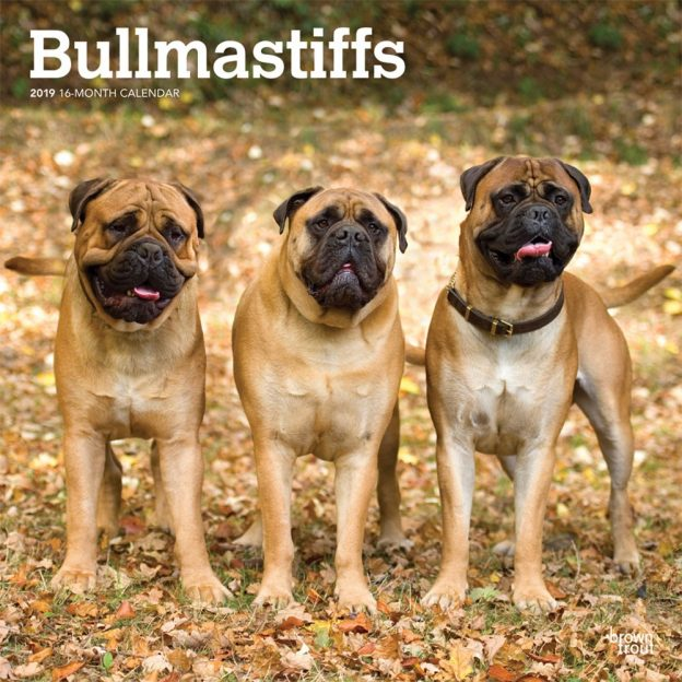 Bullmastiffs 2019 12 x 12 Inch Monthly Square Wall Calendar, Animals Dog Breeds