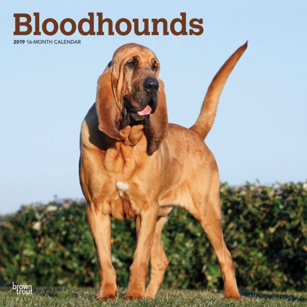 Bloodhounds 2019 12 x 12 Inch Monthly Square Wall Calendar, Animals Dog Breeds Hound
