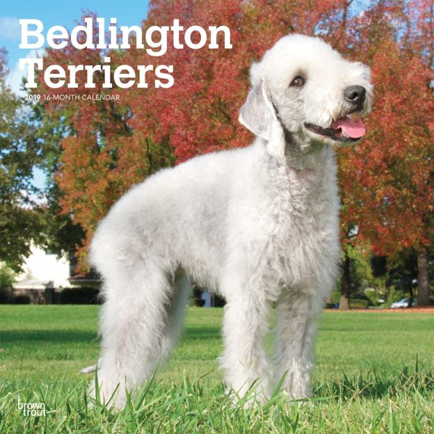 Bedlington Terriers 2019 12 x 12 Inch Monthly Square Wall Calendar, Animals Dog Breeds Terrriers