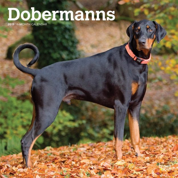 Dobermanns International Edition 2019 12 x 12 Inch Monthly Square Wall Calendar, Animals Dog Breeds