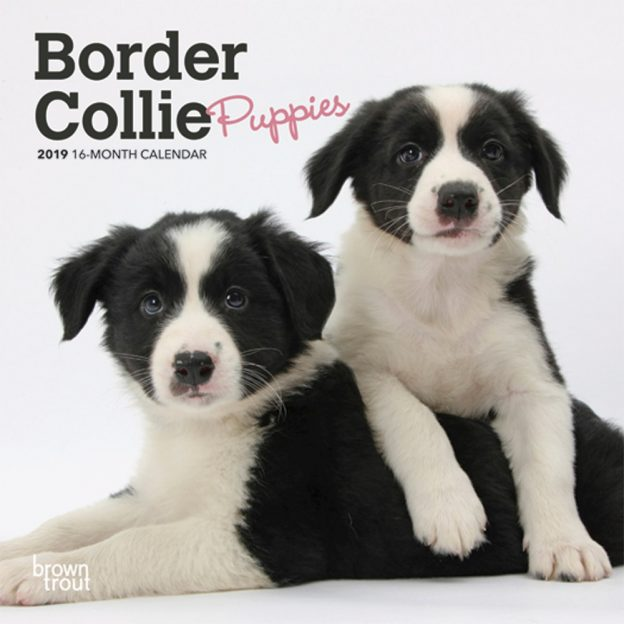 Border Collie Puppies 2019 7 x 7 Inch Monthly Mini Wall Calendar, Animals Dog Breeds Collie Puppies