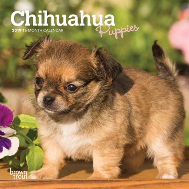 Chihuahua Puppies 2019 7 x 7 Inch Monthly Mini Wall Calendar, Animals Small Dog Breeds Puppies