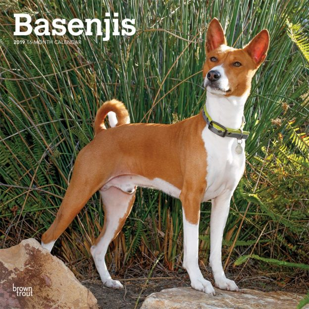 Basenjis 2019 12 x 12 Inch Monthly Square Wall Calendar, Animals Dog Breeds