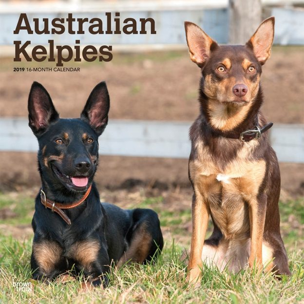 Australian Kelpies 2019 12 x 12 Inch Monthly Square Wall Calendar, Animal Dog Breeds