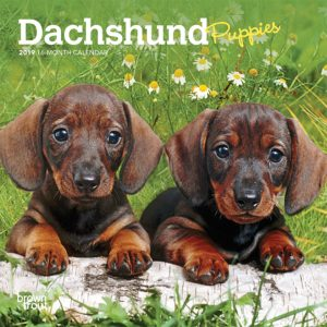 Dachshund Puppies 2019 7 x 7 Inch Monthly Mini Wall Calendar