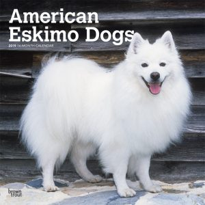 American Eskimo Dogs 2019 12 x 12 Inch Monthly Square Wall Calendar