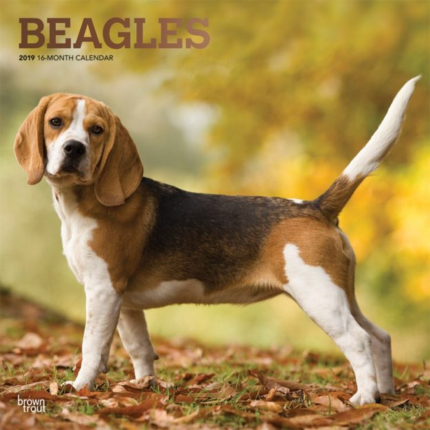Beagles 2019 12 x 12 Inch Monthly Square Wall Calendar with Foil Stamped Cover, Animals Dog Breeds