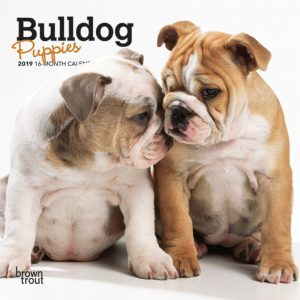 Bulldog Puppies 2019 7 x 7 Inch Monthly Mini Wall Calendar