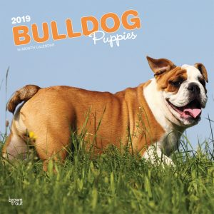 Bulldog Puppies 2019 12 x 12 Inch Monthly Square Wall Calendar