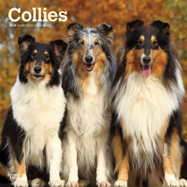 Collies 2019 12 x 12 Inch Monthly Square Wall Calendar