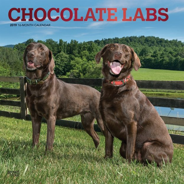 Chocolate Labrador Retrievers 2019 12 x 12 Inch Monthly Square Wall Calendar with Foil Stamped Cover, Animals Dog Breeds Retriever