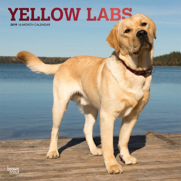 Yellow Labrador Retrievers 2019 12 x 12 Inch Monthly Square Wall Calendar with Foil Stamped Cover