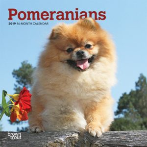 Pomeranians 2019 7 x 7 Inch Monthly Mini Wall Calendar
