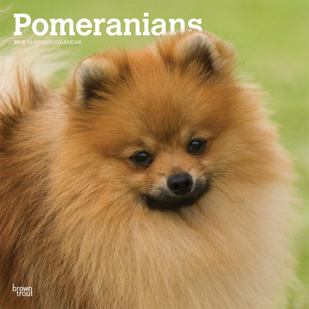 Pomeranians 2019 12 x 12 Inch Monthly Square Wall Calendar