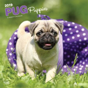 Pug Puppies 2019 12 x 12 Inch Monthly Square Wall Calendar