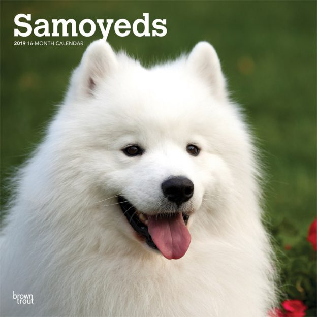 Samoyeds 2019 12 x 12 Inch Monthly Square Wall Calendar