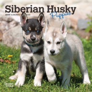 Siberian Husky Puppies 2019 7 x 7 Inch Monthly Mini Wall Calendar