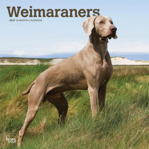 Weimaraners 2019 12 x 12 Inch Monthly Square Wall Calendar