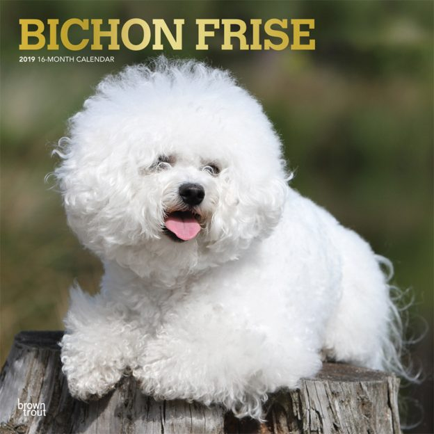 Bichon Frise 2019 12 x 12 Inch Monthly Square Wall Calendar with Foil Stamped Cover