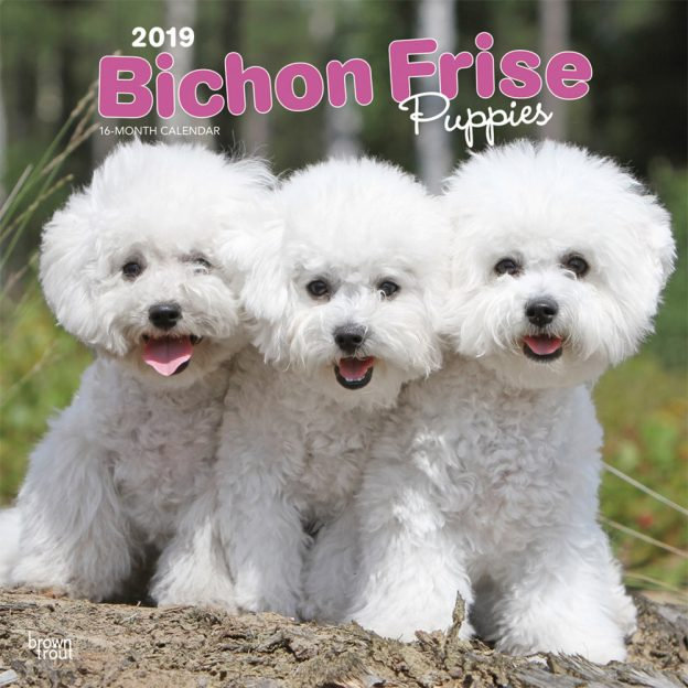 Bichon Frise Puppies 2019 12 x 12 Inch Monthly Square Wall Calendar