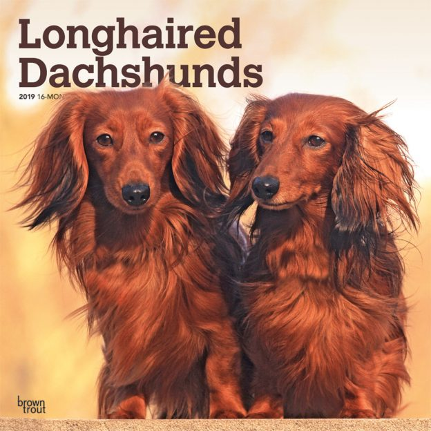 Longhaired Dachshunds 2019 12 x 12 Inch Monthly Square Wall Calendar
