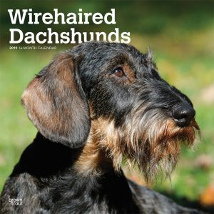 Wirehaired Dachshunds 2019 12 x 12 Inch Monthly Square Wall Calendar
