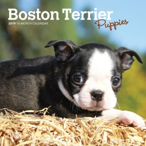 Boston Terrier Puppies 2019 7 x 7 Inch Monthly Mini Wall Calendar