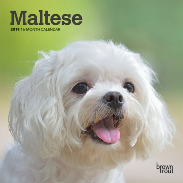 Maltese 2019 7 x 7 Inch Monthly Mini Wall Calendar