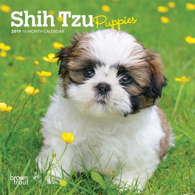 Shih Tzu Puppies 2019 7 x 7 Inch Monthly Mini Wall Calendar