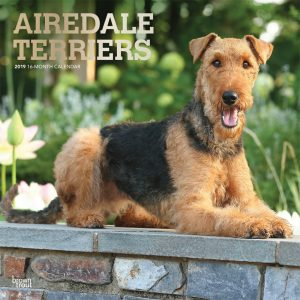 Airedale Terriers 2019 12 x 12 Inch Monthly Square Wall Calendar with Foil Stamped Cover