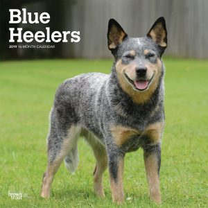 Blue Heelers 2019 12 x 12 Inch Monthly Square Wall Calendar