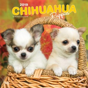 Chihuahua Puppies 2019 12 x 12 Inch Monthly Square Wall Calendar