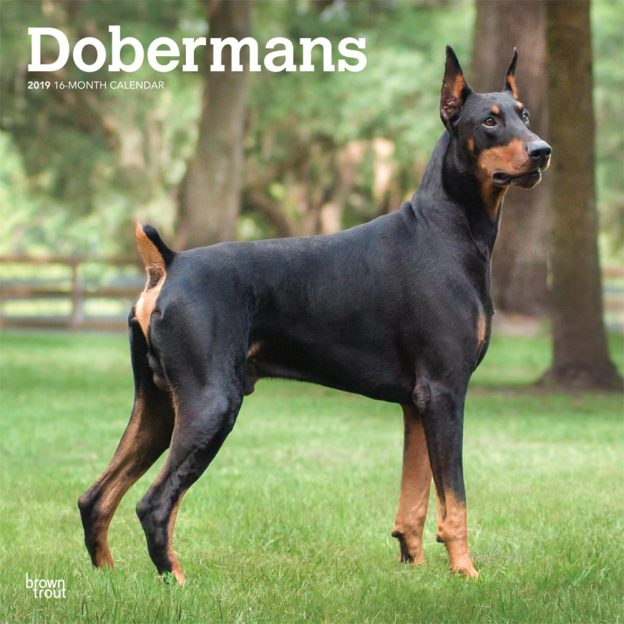 Dobermans 2019 12 x 12 Inch Monthly Square Wall Calendar