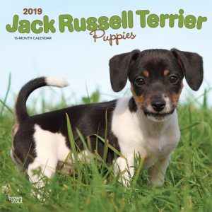 Jack Russell Terrier Puppies 2019 12 x 12 Inch Monthly Square Wall Calendar