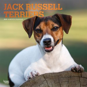 Jack Russell Terriers 2019 12 x 12 Inch Monthly Square Wall Calendar with Foil Stamped Cover