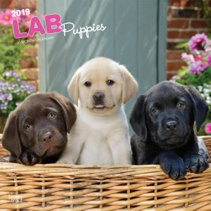 Lab Puppies 2019 12 x 12 Inch Monthly Square Wall Calendar