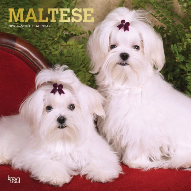 Maltese 2019 12 x 12 Inch Monthly Square Wall Calendar with Foil Stamped Cover