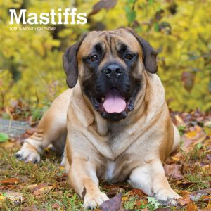 Mastiffs 2019 12 x 12 Inch Monthly Square Wall Calendar